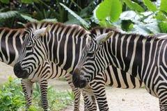 Зебры на зверинце Стоковые Изображения