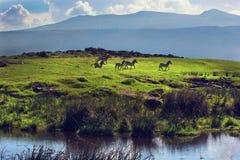 Зебры на зеленом травянистом холме. Ngorongoro, Танзания, Африка Стоковое Изображение RF