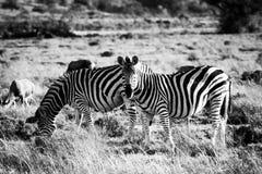 2 зебры на злаковике саванны Стоковое Фото