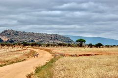 Зебры на дороге Стоковые Изображения