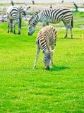 Зебры на парке сафари Стоковое Изображение RF