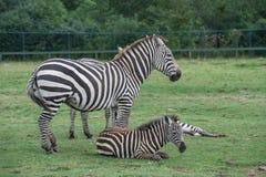 Зебры на поле травы Стоковое Изображение RF