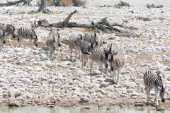 Зебры на пути к waterhole Стоковое фото RF