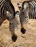 2 зебры на равных Стоковое Изображение
