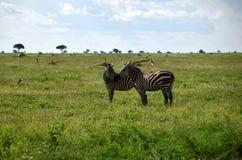 Зебры на саванне, Африке, Кении Стоковая Фотография RF