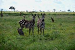 Зебры на саванне, Африке, Кении Стоковые Изображения RF