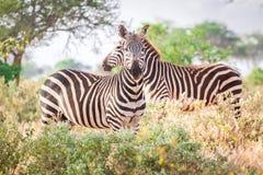 Зебры на саванне, Кении, Восточной Африке Стоковые Фото
