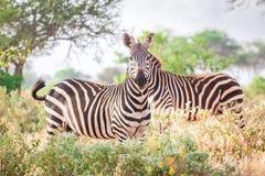 Зебры на саванне, Кении, Восточной Африке Стоковое Изображение RF