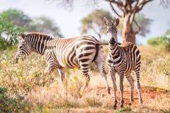 Зебры на саванне, Кении, Восточной Африке Стоковая Фотография RF