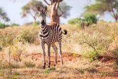 Зебры на саванне, Кении, Восточной Африке Стоковые Фотографии RF
