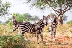 Зебры на саванне, Кении, Восточной Африке Стоковое Изображение