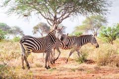 Зебры на саванне, Кении, Восточной Африке Стоковые Изображения RF