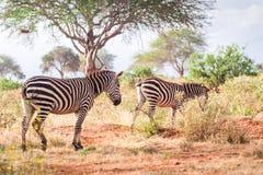 Зебры на саванне, Кении, Восточной Африке Стоковые Изображения