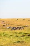 Зебры на саванне Стоковое Изображение