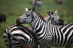 Зебры на саванне Стоковая Фотография