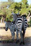 Зебры на саванне Стоковые Фотографии RF