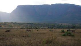 Зебры на саванне Стоковые Изображения