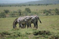 3 зебры на строке Стоковые Фотографии RF