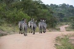 Зебры на улице в Африке Стоковая Фотография