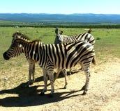 Зебры на Addo Стоковая Фотография