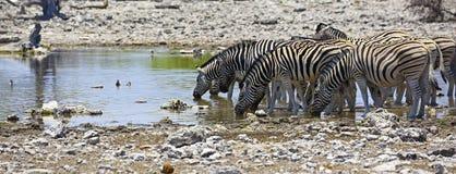 Зебры на waterhole в национальном парке Etosha Стоковая Фотография RF