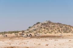 Зебры на waterhole доломита с лагерем остатков позади Стоковое Изображение