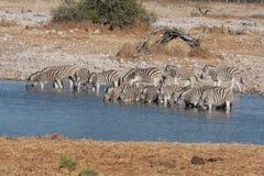 Зебры на Waterhole Стоковые Фотографии RF