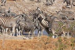 Зебры на Waterhole Стоковое Изображение RF