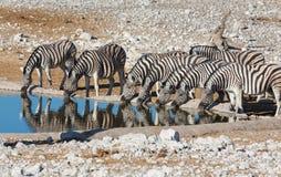 Зебры на waterhole Стоковое Изображение