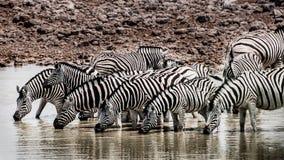 Зебры на waterhole Стоковая Фотография RF