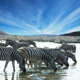 зебры на waterhole Стоковые Фото
