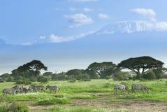 Зебры около Килиманджаро в Кении Стоковое фото RF