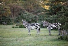 2 зебры около озера Naivasha Стоковое Изображение RF