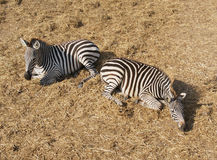 2 зебры ослабляя Стоковое Изображение RF