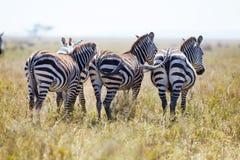 3 зебры от позади Стоковые Фотографии RF