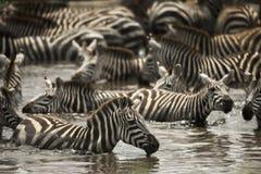 Зебры отдыхая в реке, Serengeti, Танзании Стоковая Фотография RF
