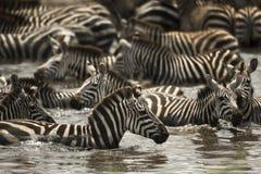 Зебры отдыхая в реке, Serengeti, Танзании Стоковое Изображение
