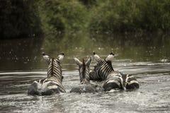 Зебры отдыхая в реке, Serengeti, Танзании Стоковая Фотография