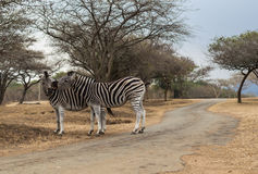 Зебры - одичалые Стоковое Фото