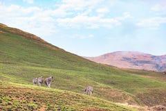Зебры пася в горе на национальном парке гористых местностей золотого строба, назначении перемещения в Южной Африке Стоковые Изображения