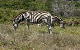 Зебры пася в кусте, Южной Африке Стоковые Фотографии RF