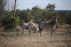 Зебры пася вдоль равнин Африки Стоковая Фотография