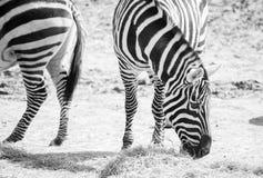 Зебры пася в природе Стоковые Фотографии RF