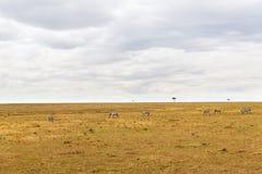 Зебры пася в саванне на Африке Стоковые Фото