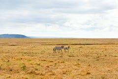 Зебры пася в саванне на Африке Стоковое Изображение