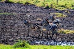 Зебры пася в саванне Стоковое фото RF