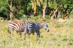 Зебры пася в саванне Стоковое Изображение RF