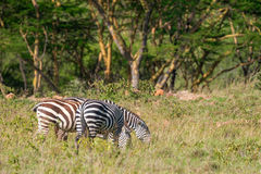 Зебры пася в саванне Стоковые Изображения RF