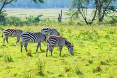 Зебры пася в саванне Стоковые Фото