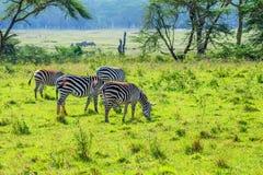 Зебры пася в саванне Стоковая Фотография RF